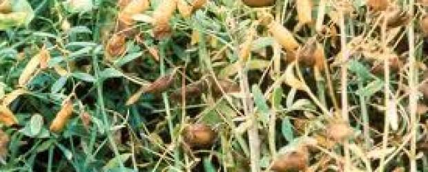 lentil-seeds