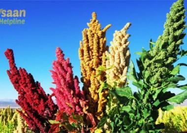 quinoa_seeds-exporter