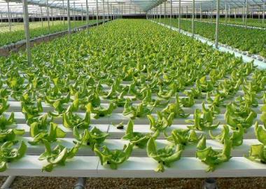 growing-lettuce-in-hydroponics-farming-system